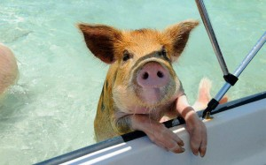 SwimmingPig